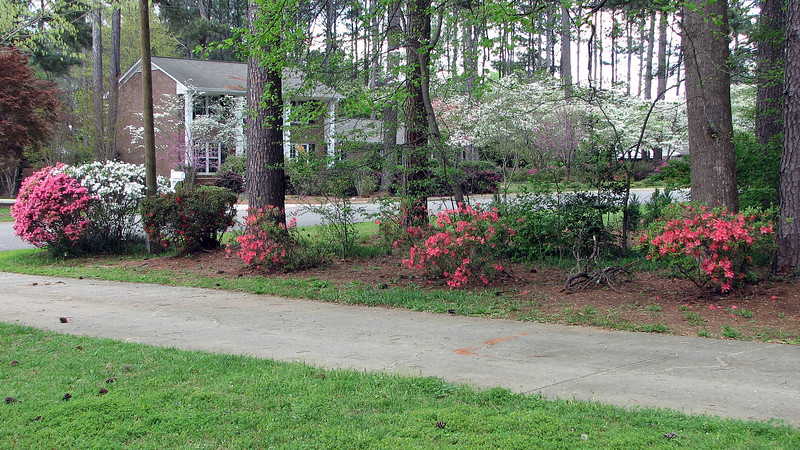 The row of azaleas along the driveway look great.  I've tried to prune and shape since I moved in, and the results are encouraging.