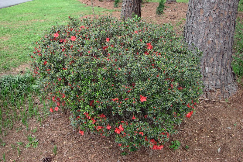 The second azalea from the street is usually the last to bloom.