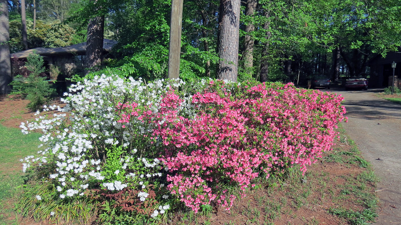 The red/white combo Azalea next to the street has reached its peak.
