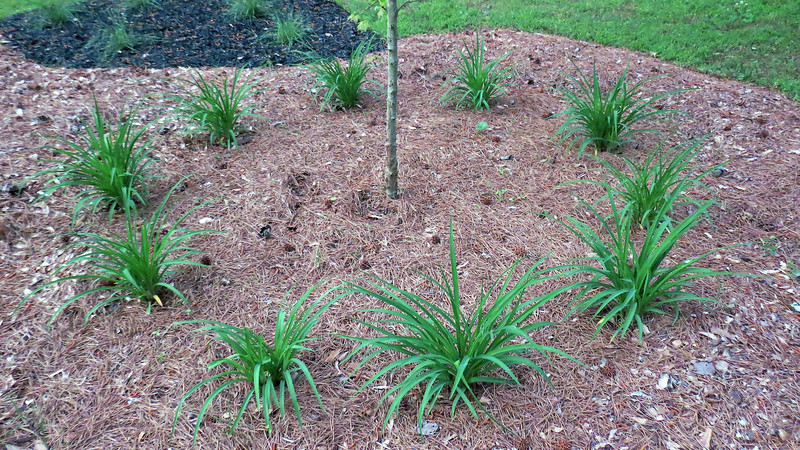 The Happy Returns Daylilies did exactly that - return, which is good, and I am happy.