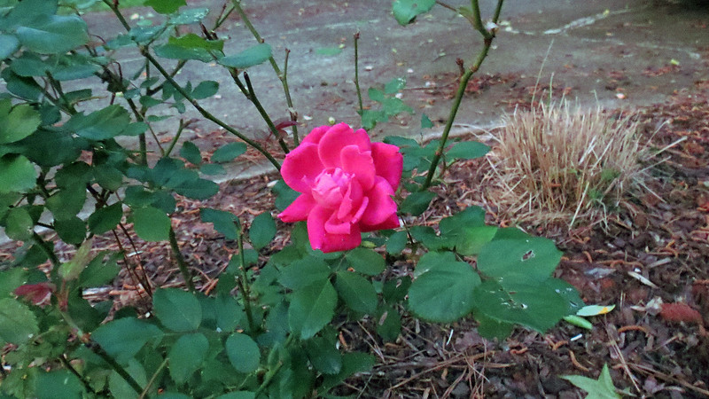 Hopefully, this single rose is the start of something good.  But this is me we're talking about.  My rose bushes don't like me.