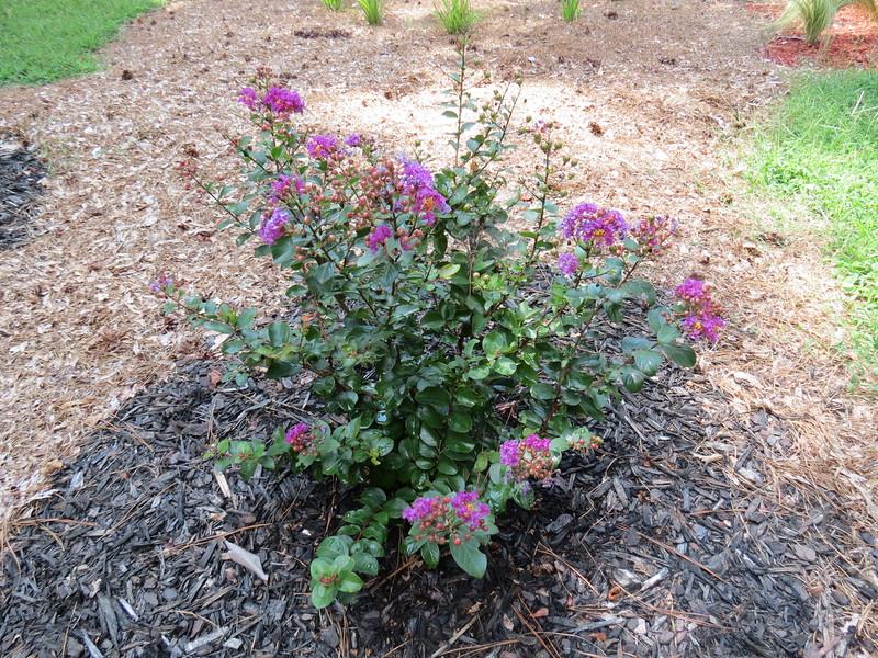 This is the Purple Magic Crape Myrtle.