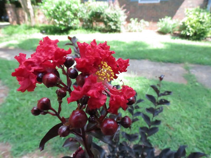 Crimson Red Crape Myrtle.