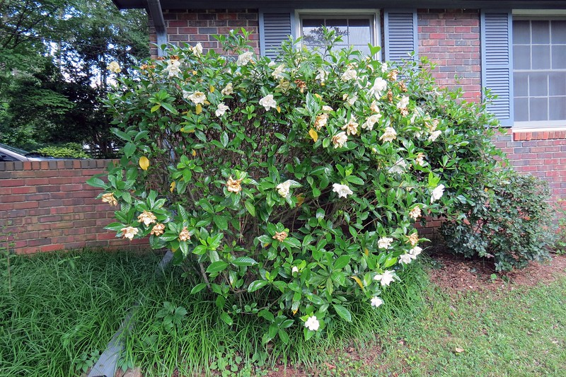 I've got more flowers appearing on the Gardenia by the garage.  After the blooming season ends, I plan on cutting this shrub back quite a bit.