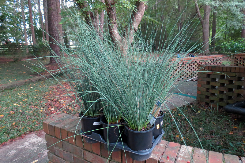 "Lowe's always has an area full of ""clearance"" plants, the content of which varies throughout the season.  Today's find was a bunch of Blue Arrows Rush ornamental grass plants marked down 50%.  I love ornamental grasses and brought a few home."