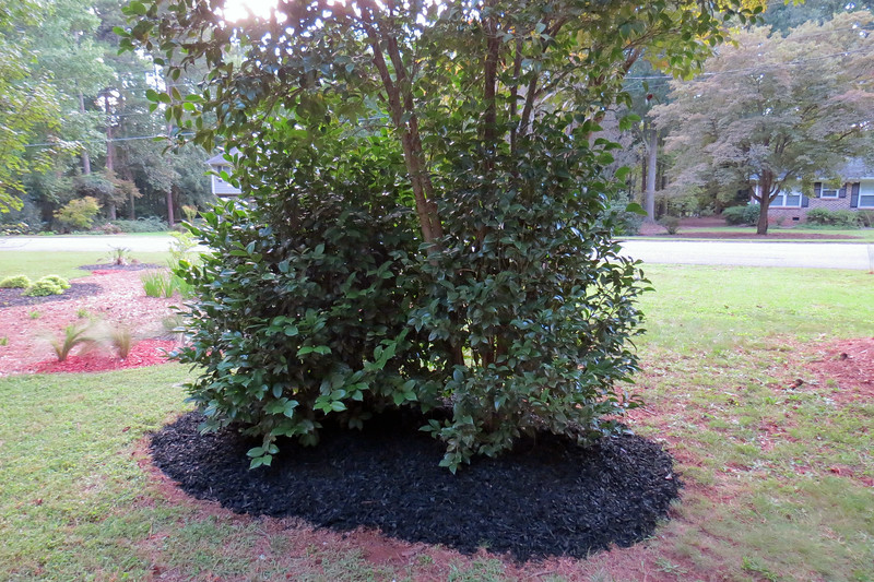 "I removed a bunch of weeds in a circular shape in keeping with the rest of the design.  The black mulch does a good job of ""separating"" the Japanese Camellia from the rest of the yard."
