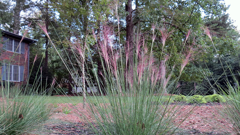 I see that my Pink Muhly Grass is blooming !