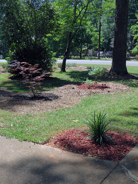 The new Vitex Shoal Creek looks like it has added a few leaves.  The newly relocated ornamental grass cluster looks great.  I don't know why.  But that seemingly simple move has had a great effect on the design.