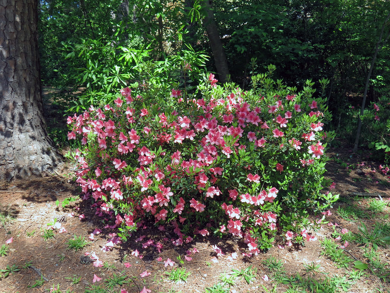After a few years of shaping and pruning, the next azalea looks great also.