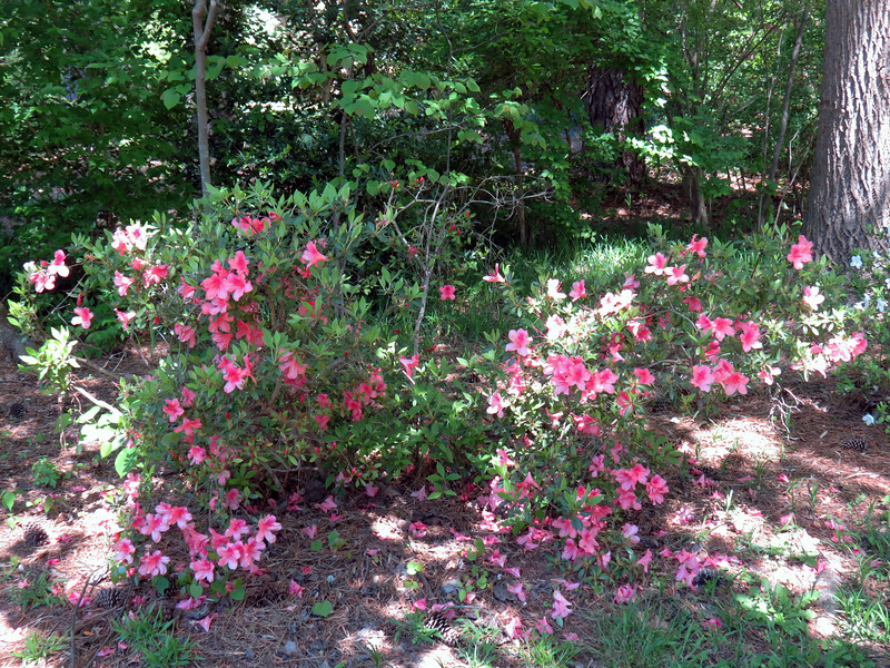 The next azalea has been somewhat of a mess since I've lived here.  I've tried to shape and prune with some success.  But it's still a mess.