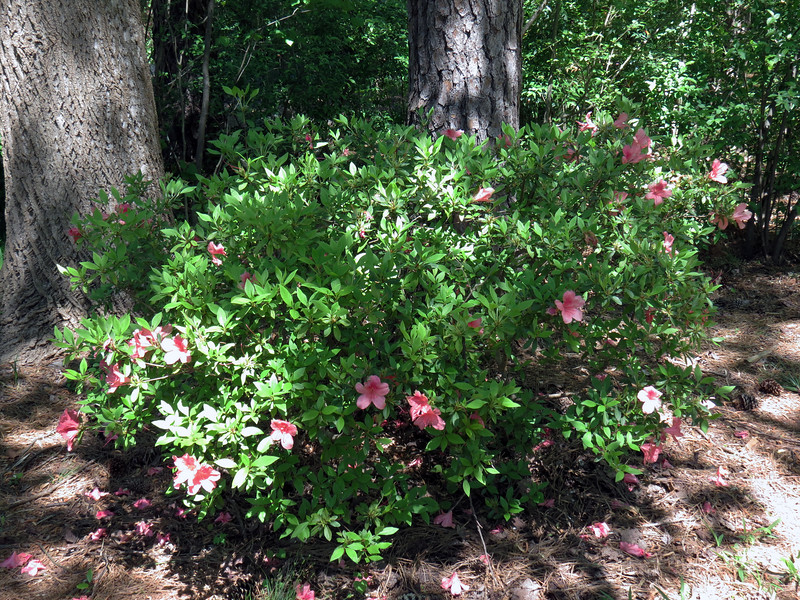 This azalea has also benefited from several years of shaping and pruning.