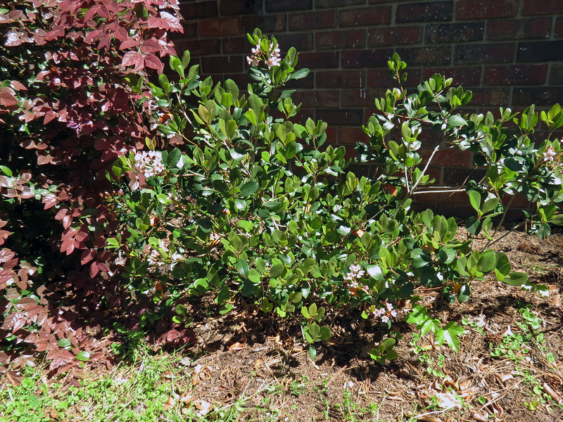 "I know that I want to move the Eleanor Tabor Indian Hawthorn shrub.  The tag that came with the plant recommended ""full sun.""  The area in front of the house gets a lot of sun, but not continuous exposure."