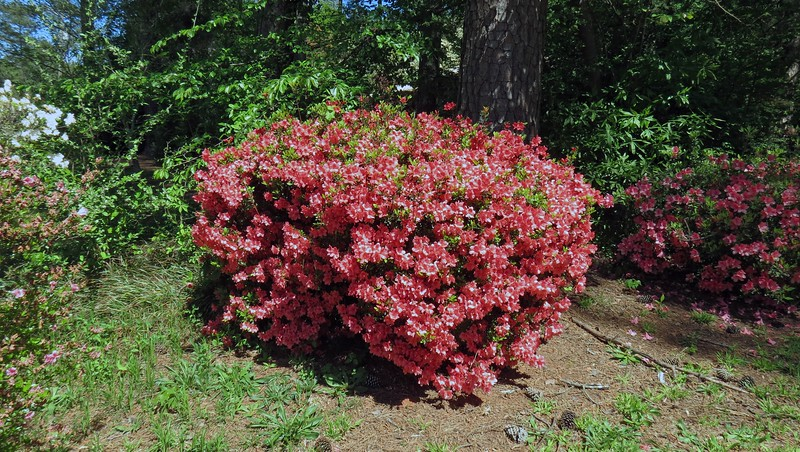 This is the second azalea from the street along the driveway.  It looks great each spring.