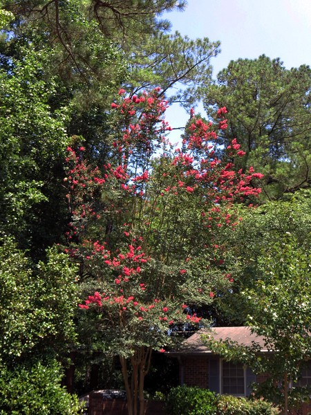 This is the time of year for the large Crape Myrtle next to the garage to bloom.