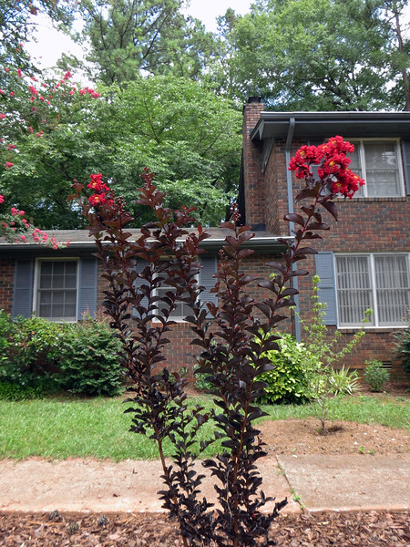 The Crimson Red Crape Myrtle has grown quite tall in the past year.