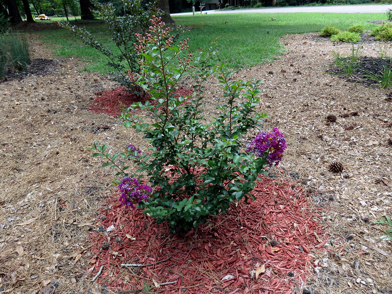 With the large Crape Myrtle in bloom, the smaller Crape Myrtles I planted last year are following suit.  The Plum Magic, (in the background) hasn't started yet.  But the Plum Magic is doing quite well.