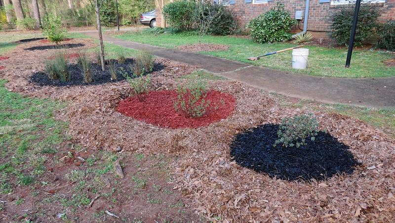 The newly moved azalea got black mulch.