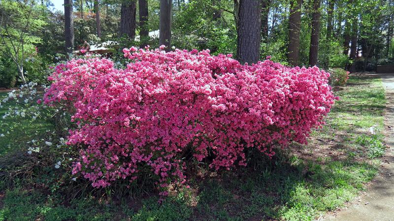 The azaleas always look great each spring.