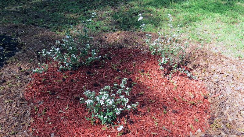 The new Reeves Spireas I planted last week are flowering.