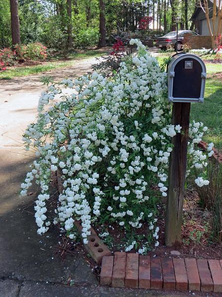 My wonderful Bridal Wreath Spirea !