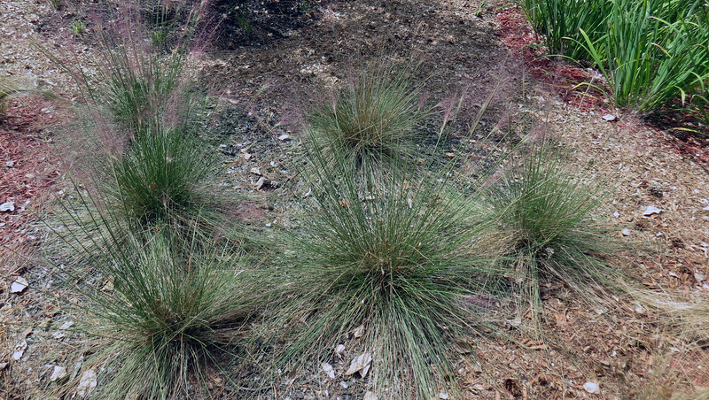 Pink Muhly Grass.<br /> Success level:  Wonderful !  <br /> <br /> I separated the two groups of Mexican Pony Tails Feather Grass with a cluster of six Pink Muhly Grass plants.  All have grown well since planted in April 2015, and continue to produce beautiful pink blooms in the fall.