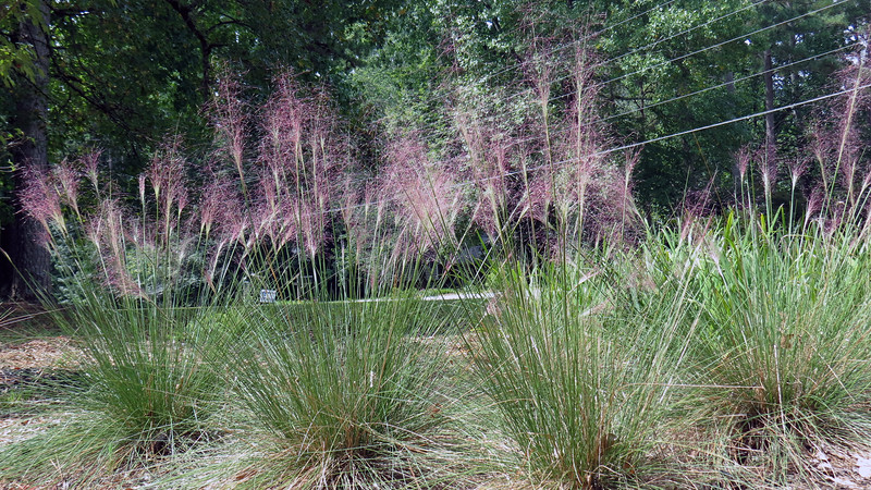 The Pink Muhly Grass plants look great !