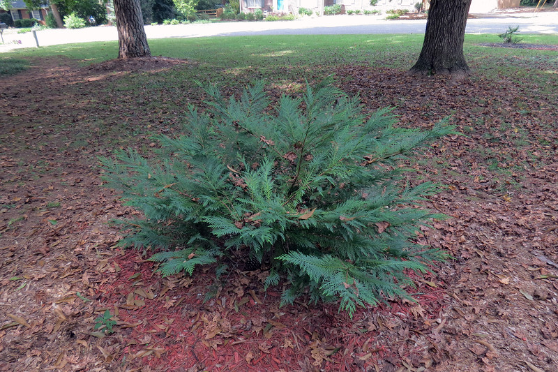 Leyland Cypress #1.  <br /> Success level:  Good.  <br /> <br /> I originally planted two Leyland Cypress shrubs next to my front steps, (about 15 feet to the left in the photo above), in March 2012.  I moved them in May 2013 after realizing they have the potential to reach 50 feet tall and 15 feet wide.  While that would be impressive, it would also render my front door and windows basically useless.  Not too long after the move, the local deer population decided it would make a great scratching post and broke a bunch of it off.  It's been steadily growing since the resulting pruning and shaping.