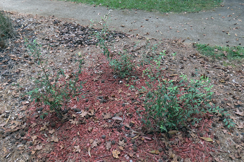 Reeves Spirea.  <br /> Success level:  TBD, but very optimistic.<br /> <br /> The Bridal Wreath Spirea I planted next to my mailbox has been a wonderful success which inspired me to plant a few more spireas in March 2016.  All three have grown substantially since planting.  Hopefully, I'll have a lot of white blooms next spring.