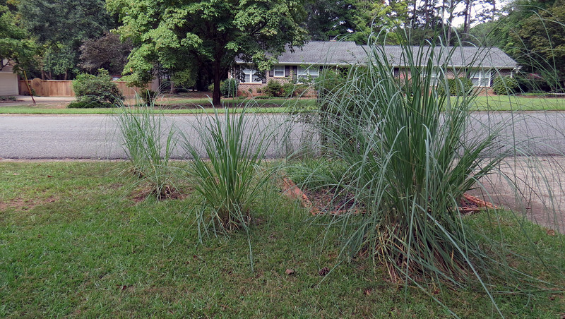 Pampas Grass.<br /> Success level:  Good.<br /> <br /> I originally planted six Pampas Grass plants in the back yard by the patio in March 2013 before I realized that they need full sunlight.  After two of them died, I transplanted the remaining four to the front yard by the mailbox, (the large one on the right in July 2013, and the others in August 2014 and March 2015).  The massive dose of sunlight has done wonders.  I haven't seen any blooms yet, but I'm hoping.