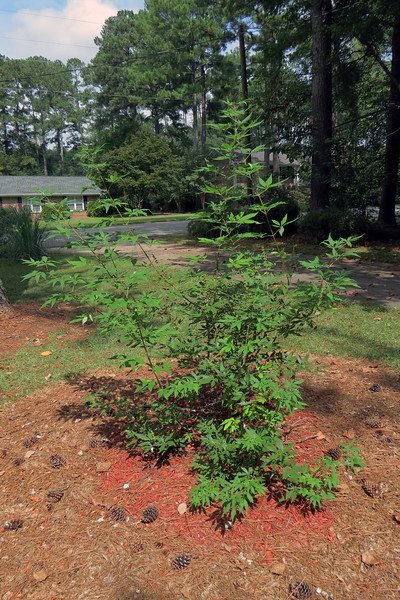 Vitex Shoal Creek.  <br /> Success level:  Good.<br /> <br /> I planted this summer flowering shrub in April 2016.  It produced flowers shortly after going in the ground and continues to grow quite enthusiastically.