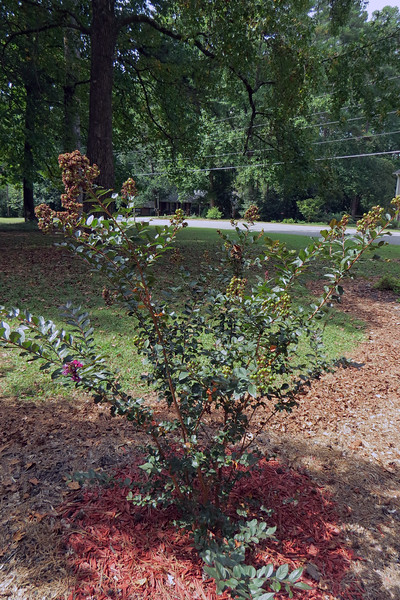 Plum Magic Crape Myrtle.  <br /> Success level:  Good.<br /> <br /> I planted three Crape Myrtles in May 2015 to add some summer color to the yard.  The Plum Magic has more than doubled in size since then.