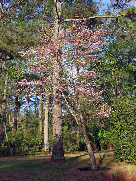 The other Dogwood always looks great each spring, and this year is no exception.