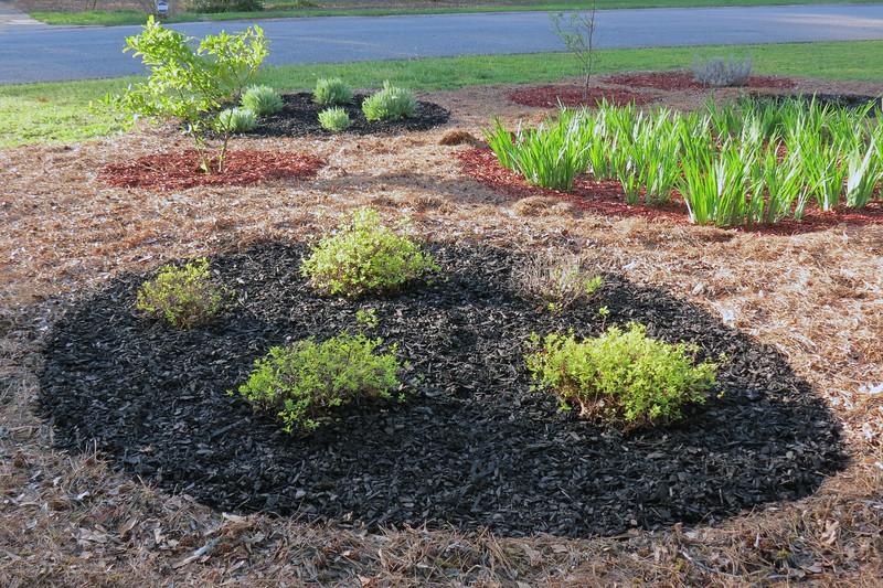 I added black mulch around the Goldmound Spireas and Coronation Gold Yarrows.