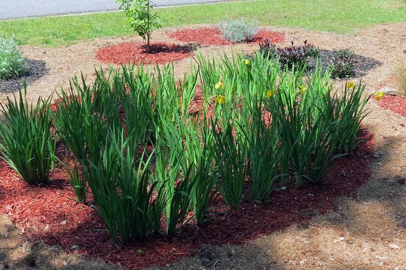 Yellow Flag Irises.
