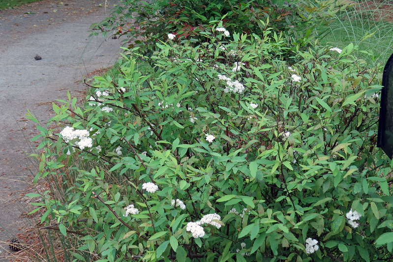 April 27:  Now this is interesting !  I've got a bunch of flowers on the Bridal Wreath Spirea.  I thought it had finished blooming two weeks ago, so I pruned it.  Now I've got a bunch of new flowers.  I need to do some research to see if maybe I'm supposed to be doing this each spring.