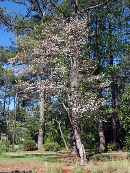 The flowering Dogwood tree in the front yard.
