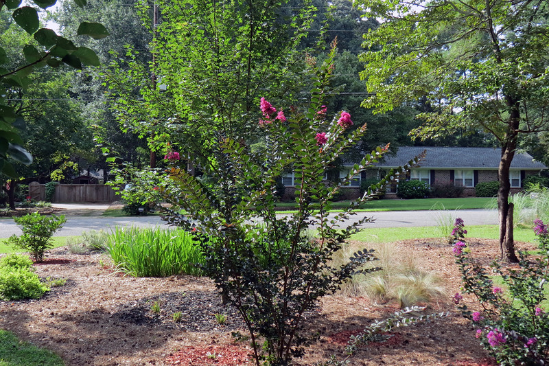 The Plum Magic crape myrtle has tripled in size since I planted it in 2015.  It has also been blooming for a month.
