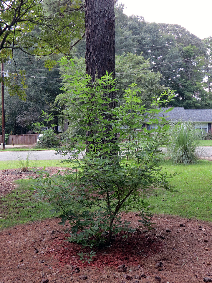 Speaking of benefiting from the rain this summer, the Vitex Shoal Creek has tripled in size since I planted it in April 2016.  This plant should get pretty large and bloom in blue each spring.