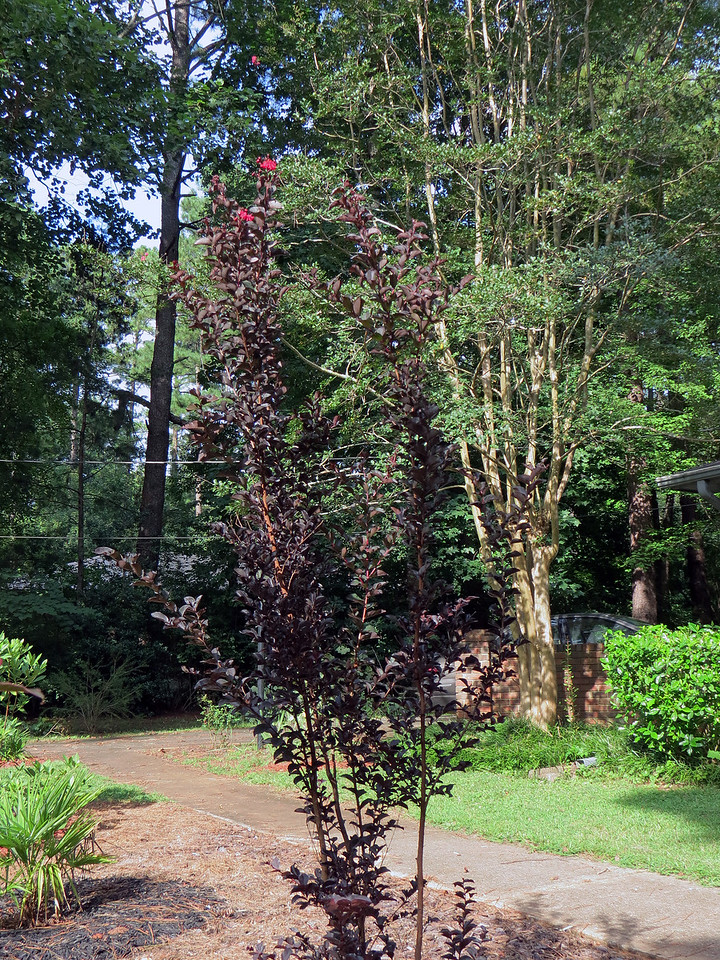 The Crimson Red crape myrtle is getting a late start, but is now starting to bloom.