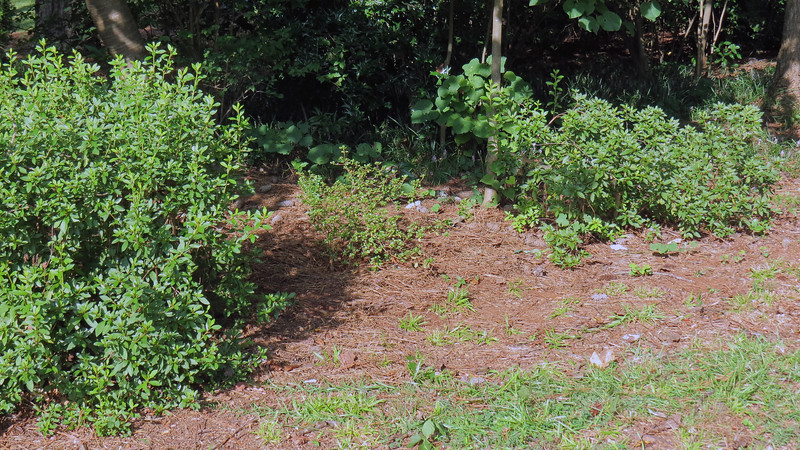 My mind likes the idea of the small azalea being next to all the other azaleas along the driveway.  And if my previous experiences are accurate, this shrub is pretty stout and should survive another relocation.