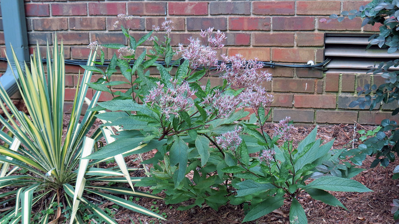 "I have no idea if the Yucca is doing ""well"" because it looks exactly the same as it did when I planted it.  But the Joe Pye Weed looks pretty good."