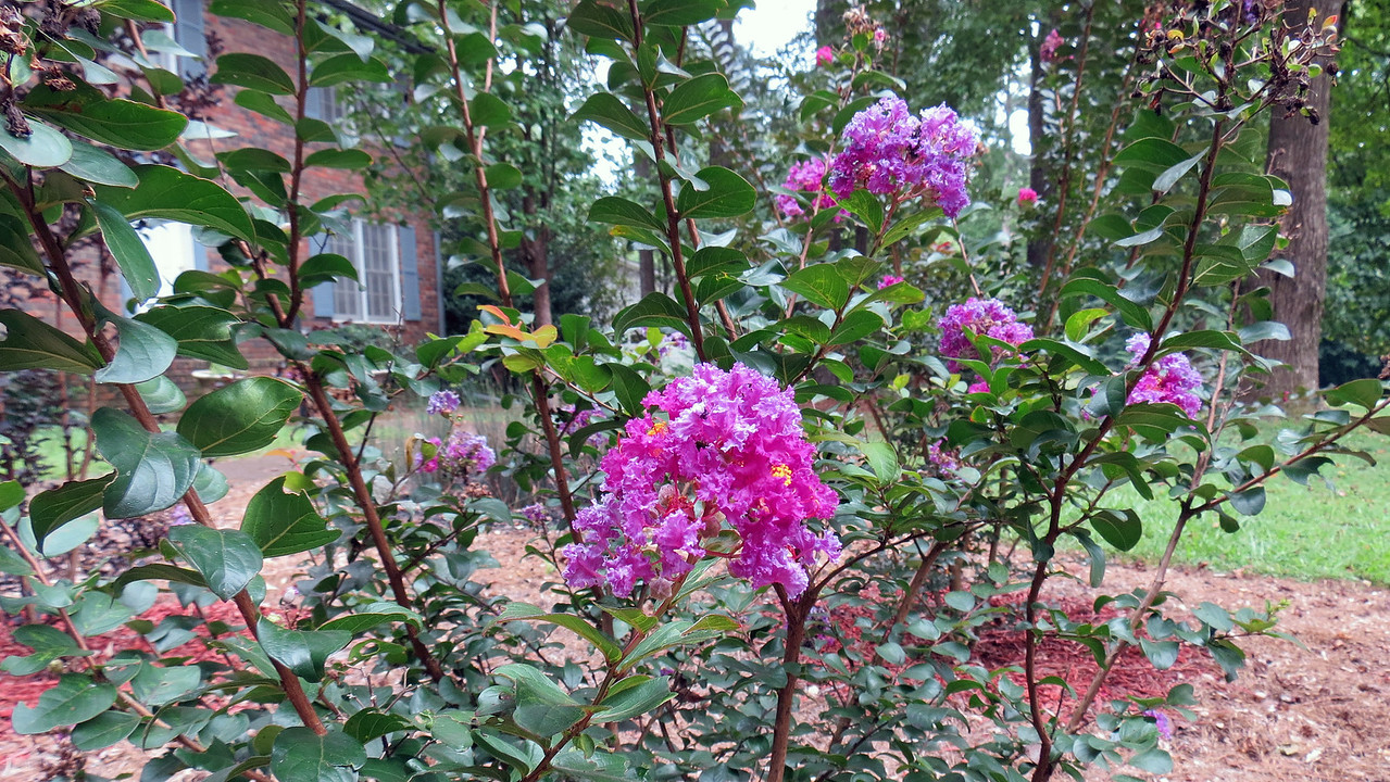 The Purple Magic crape myrtle began blooming in mid-June, and has now been sporting flowers for two months.