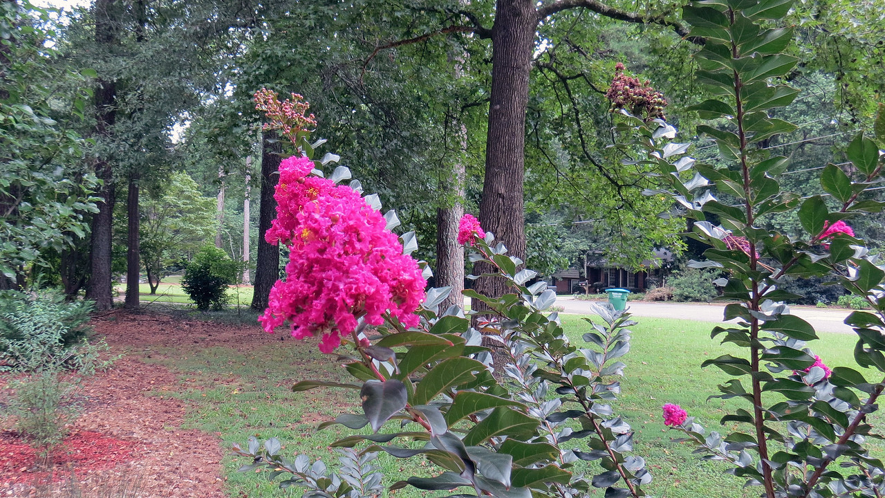 The Plum Magic crape myrtle first started showing blooms in July.