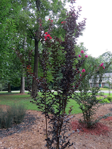 For whatever reason, I don't have many blooms on the Crimson Red crape myrtle.  But it is blooming.