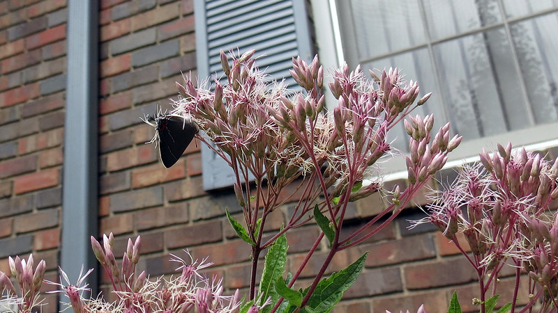 The Joe Pye Weed is said to attract butterflies and appears to be doing its job.