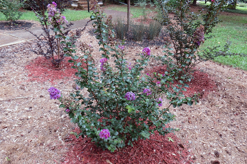 This is the time of the year when the summer bloomers do their thing.  I planted three crape myrtles back in 2015.  All of them are growing beautifully and have flowered each year.  The Purple Magic crape myrtle above has been the first to bloom each year, with this year being no exception.