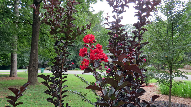 Crimson Red crape myrtle.