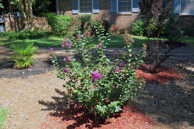 I planted three crape myrtles in this area of the yard back in 2015.  All three are growing beautifully, and have bloomed each season.  The Purple Magic crape myrtle was the first to bloom this year.