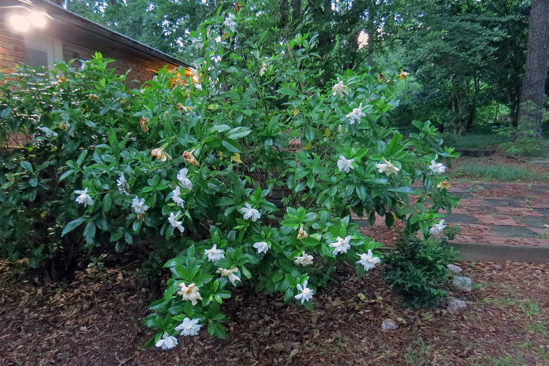 I'm guessing this is some kind of Gardenia because it looks the same as the other plant in front of the house which is believed to be a Gardenia.  The leaves and flowers are identical.