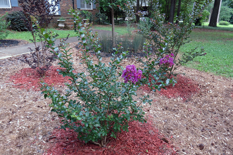 The Purple Magic Crape Myrtle is usually the first of the four in my yard, (three in this location and one next to the garage), to begin blooming in the summer.  The three Crape Myrtles I planted in 2015 have all grown significantly.